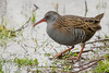 WATER RAIL (_jypictures) Tags: animalphotography animals animal canon7d canon canonphotography wildlife wildlifephotography nature naturephotography photography pictures waterrao waterrail birdphotography bird birds birdwatching birding birdingphotography birders