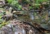 Hynobius kimurae (kenta_sawada6469) Tags: amphibian amphibians nature japan amphibia herptile herptiles wildlife herping water salamander