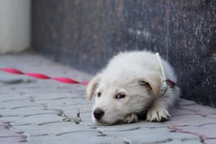 those rosy ties... (raisalachoque) Tags: pet dog animal rosy pink tie leash closeup sony zeiss