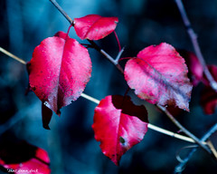 The Red Leaves (that_damn_duck) Tags: leaves nature fall autumn colorsoffall autumncolors foliage