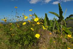 Cosmos, Vegas Arriba, Adjuntas, PR 12/2017 (Oquendo) Tags: hurricane adjuntas puertorico countryside devastation naturaldisaster storm tropical cosmos yellow flower flora