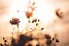 アキザクラ (March Hare1145) Tags: 花 flower 植物 plant コスモス 秋桜 autumn 秋 日本 japan