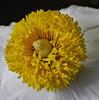 The Center of the Matilija Poppy (Bill Gracey 17 Million Views) Tags: matilijapoppy fleur flower flor center offcameraflash lastoliteezbox softbox yongnuo yongnuorf603n sidelighting nature naturalbeauty treepoppy color yellow macrolens clarity detail sharp