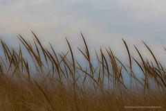 https://goo.gl/mL8Ad6 Atlantic Beach, NY Dune Grass  #beachgrass #grassgrass #dunegrass #atlanticbeachny #usa #kdinanphotography @canonusa #canon #canonusa (karendinan35) Tags: kdinanphotography usa beachgrass canon atlanticbeachny dunegrass grassgrass canonusa