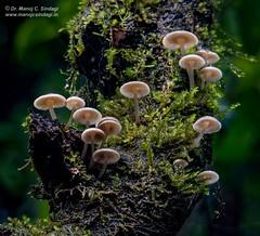 Mushrooms! (MCSindagi) Tags: canon powershotg3x g3x canonindia mushrooms macro telemacro 600mm amboli maharashtra india fungi westernghats monsoon