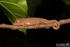 Bradypodion setaroi - Setaro's Dwarf Chameleon. (Tyrone Ping) Tags: bradypodionsetaroisetaro'sdwarfchameleonfromstlucia kwazulunatalhttpwwwtyronepingcozachameleonsbradypodionsetaroi bradypodion setaroi kwazulu natal setaro's dwarf chameleon herps herping herpetology herpings herptology lizard wwwtyronepingcoza wild wildlife wildherps wildanimals wilderness africa african animals amazing animal adventure f28 closeup canon 100mmmacrof28 southernafricanherps southafricanreptiles south isimangalisowetlandpark nature natural field work mt24ex 5dmiii