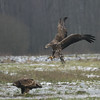 White-Tailed Eagles (peterspencer49) Tags: peterspencer peterspencer49 whitetailedseaeagle eagle eagles bird beachseaview raptor winter snow