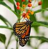 Butterfly (LuckyMeyer) Tags: butterfly schmetterling monarch flower fleur plant pflanze insect yellow orange black blüte blume makro