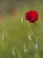 Un moment de joie **--- °--° (Titole) Tags: poppy buds red green titole nicolefaton friendlychallenges thechallengefactory gamewinner