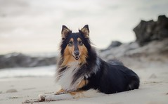 01/52 Leia, happiness is a stick. (shila009) Tags: leia dog perro roughcollie beach playa sand arena stick palo airelibre 0152 52weeksfordogs