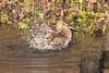 Cascade (Andrew_Leggett) Tags: snipe gallinagogallinago wader bird water washing bathing wild wildlife nature natural rspboldmoor