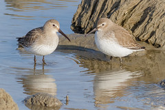 Dunlin resting (tresed47) Tags: 2017 201712dec 20171211delawarebirds birds canon7d content december delaware dunlin fall folder fowlersbeach peterscamera petersphotos places season shorebirds takenby us