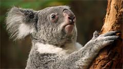 Portrait Koala (Foto Martien) Tags: koala koalabear nativebear monkeybear treebear bangaroo newhollandsloth cullawine koolawong colah karbor colo coolbun boorabee burroor pucawan koalabeer banjorah burrenbong buidelbeer fascolarto aschgrauerbeutelbär phascolarctoscinereus marsupial buideldier easternaustralia oostaustralië southeasternqueensland easternnewsouthwales southeasternsouthaustralia victoria eyrepeninsula strongclaws largepaws phascolarctidae kangaroos wallabies wallaroos wombats possums opossums zooduisburg germany deutschland duitsland northrhinewestphalia nordrheinwestfalen tree boom eucalyptus zoo dierenpark dierentuin geotaggedwithgps sony a77 sonyalpha77 sonyslta77v tamron70300mmf456sp martienarnhem martienuiterweerd fotomartien description information info details explanation documentation beschrijving informatie toelichting documentatie