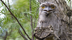 Hello There (Bill Collison) Tags: tawney frogmouth