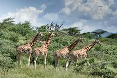1709 Kenya 9941 (andre.callewaert) Tags: kenya baringo girafe