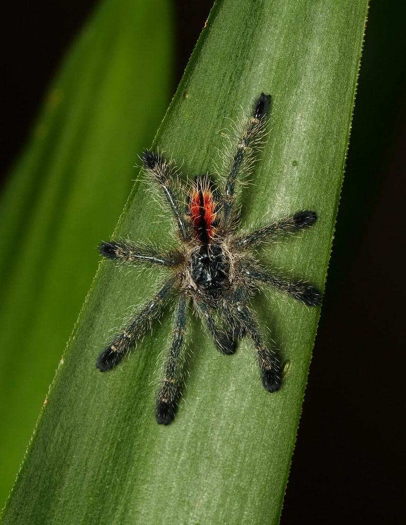 The Worlds Newest Photos Of Brazil And Tarantula - Flickr -5135