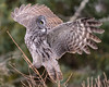 Sudden change in plans (jrlarson67) Tags: great gray grey raptor sax zim bog strix nebulosa chouette lapone cendrée minnesota