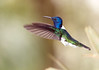 IMG_9340 White-necked Jacobin (suebmtl) Tags: ecuador pichinchaprovince birding bird hummingbird mindolindo mindo whiteneckedjacobin inflight florisugamellivora