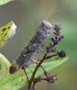 Portrait of a gray grasshopper (ctberney) Tags: grasshopper insect bug nature bandwingedgrasshopper carolinagrasshopper roadduster