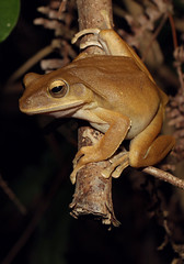 Brown Tree Frog (Polypedates megacephalus) (cowyeow) Tags: hongkong herpetology herp herps herping china chinese asia asian nature frog frogs amphibian cute resting brown treefrog browntreefrog polypedates megacephalus polypedatesmegacephalus ngtungchaiv composition big large