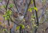 Marsh Wren (hyu767) Tags: wren marshwren