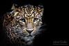 SriLankan leopard (Michel L'HUILLIER (Asterix_93)) Tags: srilankan leopard portrait face nose head eyes nikon d810