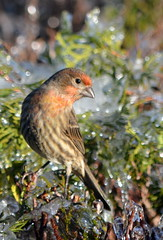 HUNGRY BIRDS.  WE ARE IN THE THIRD DAY OF AN UNUSUAL WINTER ICE STORM PLAYING HAVOCK EVERYWHERE.   ABBOTSFORD,  BC. (vermillion$baby) Tags: fraservalley housefinch icestorm abbotsford bird bokeh finch ice storm winter snow danger bc unusual nature milllake trees tree
