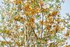 Grevillea robusta (Ben Caledonia) Tags: grevillearobusta grevillea proteaceae nouvellecalédonie newcaledonia