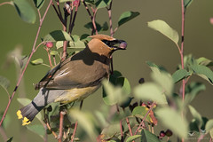 Cedar Waxwing (dennis_plank_nature_photography) Tags: avianphotography bombycillacedrorum cedarwaxwing birdphotography naturephotography avian birds nature