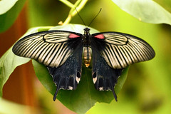 Butterfly (Andrew-Jackson) Tags: