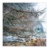 Cold Fingers (gerainte1) Tags: winter snow larch trees ilkleymoor yorkshire