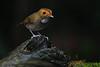 Rufous Browed Flycatcher (My Pixel Magic) Tags: flycatcher rufousbrowedflycatcher smallbird beautifulbird birdofmalaysia birdie birdphotography birdofasia bird wildlife wildlifephotography outdoor mypixelmagic parthaphotography