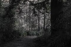 Bamboo + Redwood  BW (Leightino) Tags: search results vandusen botanical garden bamboo redwood