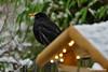 Amsel hinter Vogelhaus (GerWi) Tags: amseln vögel birds vogelhaus led beleuchtung fütterung fz1000 400mm