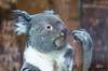Koala (Phascolarctos cinereus) (JOAO DE BARROS) Tags: joão barros koala animal
