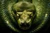 Snake Eyes (KWPashuk) Tags: nikon d7200 tamron tamron18400mm lightroom luminar kwpashuk kevinpashuk snake eyes reptile stare zoo toronto torontozoo ontario canada wildlife indoors nature