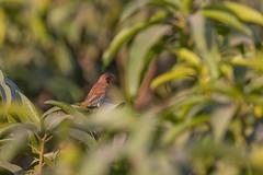 Munia bird Male (Omar Aziz) Tags: bird avian munia wild nature green perch india uttarpradesh brown male tree top