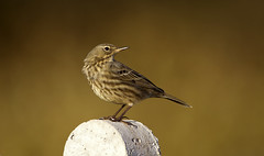 Rock Pipit (andywilson1963) Tags: rockpipit bird wildlife scotland british coast perch