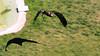 Vautour Percnotere en vol (FranSight) Tags: fransight france fran flickr facebook amnéville amneville zoo animaux animalier photographieanimalière animal canon 100mm wild sauvage franimage de fr parc zoologique eos70d eos photo image picture journée sortie faune beau lorraine est nord 2017 alsace kintzheim oiseau rapace aigle bird la volerie des aigles lavoleriedesaigles eagle hawk plume predatory sky ciel bald buse aguia vautour percnotere nephron percnopterus egyptian vulture flight en vol approche