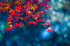 December leaves (Masa_N) Tags: leaves winter nature tree fall december bokeh japan mapleleaves tokyo red