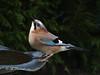 Durstiger Eichelhäher (Fotoamsel) Tags: eichelhäher natur trübertag tiere vögel imgarten goslar niedersachsen deutschland