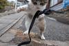 田代島 ネコ (GenJapan1986) Tags: 2017 ネコ 動物 宮城県 田代島 石巻市 離島 日本 cat animal island tashirojima miyagi japan fujifilmx70