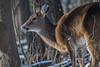 WinterFeeding (jmishefske) Tags: wehr december doe 2017 nikon wildlife whitetail nature d500 deer center whitnall milwaukee wisconsin franklin park