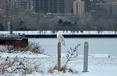 Downtown Snowy (marylee.agnew) Tags: snowy owl downtown urban winter city bird nature wildife outdoor