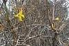 Forsythia blooming in December (brucetopher) Tags: yellow flower winter bloom blooming delicate strong brave confused earlyspring forsythia brambles bramble thicket twisted tangle tangled 7dwf