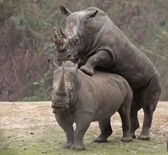 white rhino Burgerszoo BB2A6796 (j.a.kok) Tags: neushoorn rhino rhinoceros whiterhino witteneushoorn breedlipneushoorn burgerszoo animal africa afrika herbivore mammal zoogdier dier