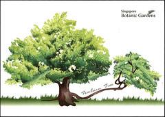 postcard - Singapore Botanic Gardens (Jassy-50) Tags: postcard singapore singaporebotanicgardens botanicgardens unescoworldheritagesite unescoworldheritage unesco worldheritagesite worldheritage whs tembusutree tree