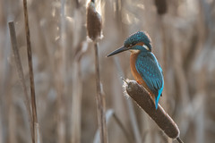 Kingfisher (Tim Melling) Tags: alcedo atthis kingfisher west yorkshire timmelling