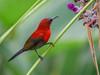 Sled riding crimson bird (Robert-Ang) Tags: plant sunbird crimsonsunbird aethopygasiparaja animalplanet animal wildlife nature jurongecogarden singapore
