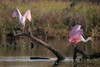 When I Land, You Shall Land (gseloff) Tags: roseatespoonbill bird perch pair nature wildlife animal bayou water treestump horsepenbayou pasadena texas kayak thekingandi gseloff